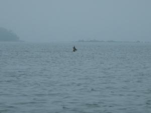 Peurapukki ui meressä
